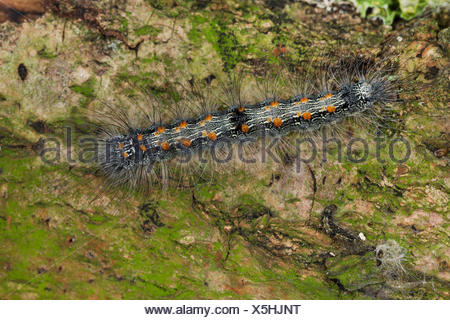Four-spotted Footman (Lithosia quadra), caterpillar, Germany - Stock Photo