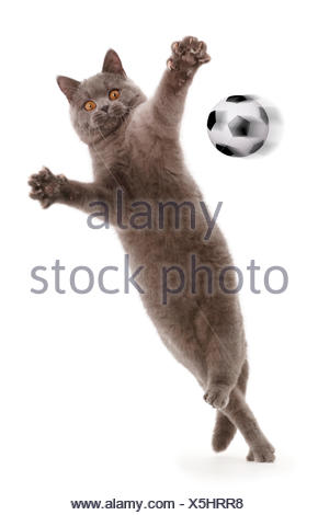 Blue British Shorthair cat leaping and playing  with outstretched arms. Composite image with digital football art. - Stock Photo