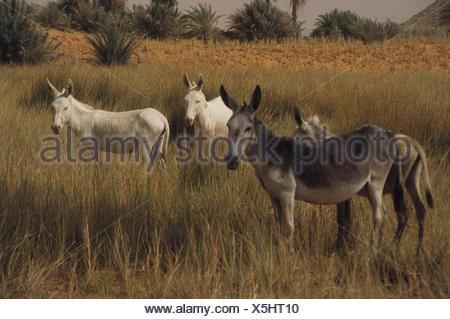 Chad, mesa country Ennedi, salt lake Ounianga Serir, west shore, donkey Central, Africa, landlocked country, Sahara, Sahara waters, lake, 381 m sea level, lakesides, beach, grass, animals, mammals, eat, nature, scenery - Stock Photo