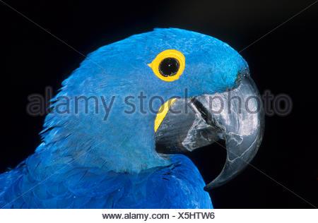 hyacinth macaw (Anodorhynchus hyacinthinus), portrait of an anodorhynchus - Stock Photo