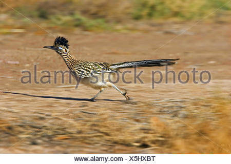 road-runner, roadrunner (Geococcyx californianus), running female, USA, New Mexico - Stock Photo