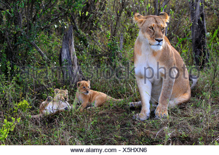 lion (Panthera leo), lioness sitting in the grass with two kittens, Kenya, Masai Mara National Park - Stock Photo