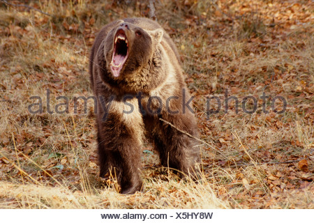 Brown Bear Roaring showing jaws & teeth Captive Montana Winter - Stock Photo