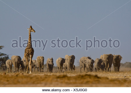 Giraffe and elephant herd approaching waterhole, Etosha National Park, Namibia - Stock Photo