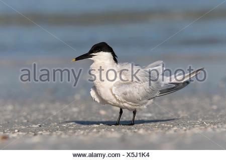 Cabot's Tern - Thalasseus acuflavidus - Stock Photo