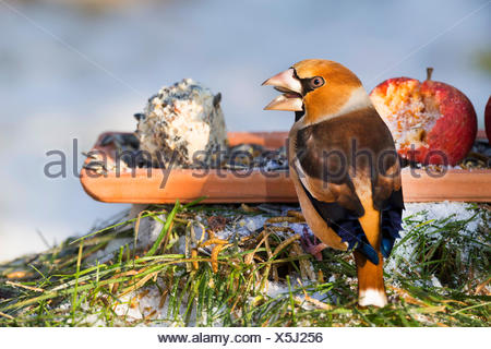 hawfinch (Coccothraustes coccothraustes), birds feeding, feeding on the ground in winter, Germany - Stock Photo