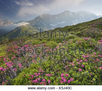 View from Oberberg against Hochfeiler, 3510 m, alpine rose, Pfitscher Tal (valley), South Tyrol, Italy, - Stock Photo