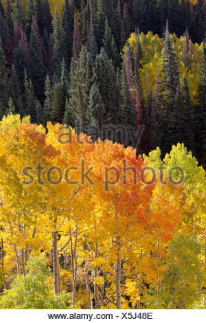 Quaking aspen trees, Populus tremuloides, glow brightly among green conifers in a mountain valley. - Stock Photo