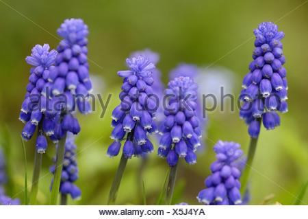 grape hyachinth (Muscari spec.), some inflorescenses - Stock Photo