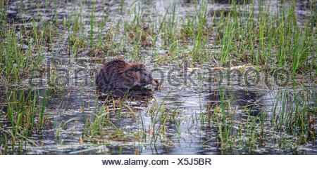 North American beaver (Castor canadensis), eating in the water, Grand Teton National Park, Wyoming, USA - Stock Photo