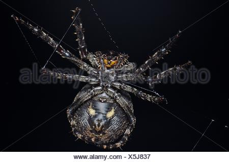 Close-Up Of Spider On Web Against Black Background - Stock Photo