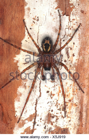 white-eyed spider, window lace-weaver (Amaurobius fenestralis), male - Stock Photo