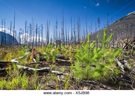 Forest renewal after 2003 Kootenay Wildfires, Marble Canyon, Kootenay National Park, British Columbia - Stock Photo