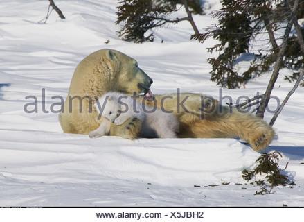 Polar Bear mother with young sleepy cub Manitoba Canada