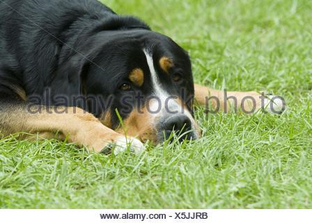 Greater Swiss Mountain Dog - Stock Photo