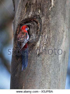 A crimson rosella, Platycercus elegans, at the entrance to its nest in a tree trunk. - Stock Photo