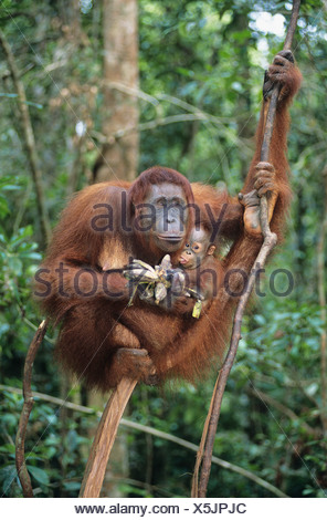 Orangutan embracing young in tree - Stock Photo