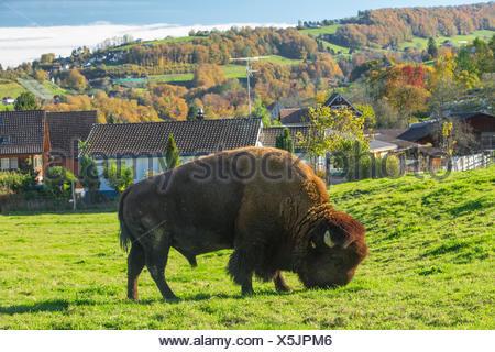 Bison breeding in Lutzenberg, - Stock Photo
