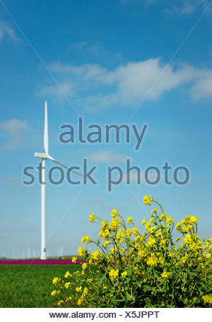 Yellow weed in front of magenta flower blooms and wind turbine, Zeewolde, Flevoland, Netherlands - Stock Photo