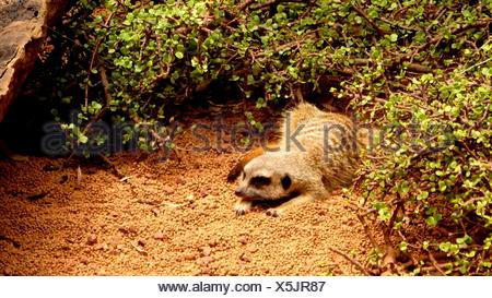 Meerkat Relaxing By Plants On Field - Stock Photo