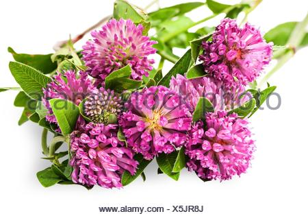 Closeup bouquet of clover flowers with green leaves isolated on white background. - Stock Photo