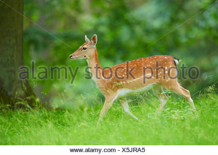 fallow deer (Dama dama, Cervus dama), hind in a meadow, Germany, Bavaria - Stock Photo