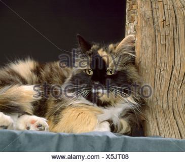 LONG HAIRED CALICO CAT / COLORADO Stock Photo: 281811507 - Alamy
