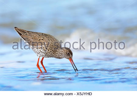common redshank (Tringa totanus), searching food in shallow water, side view, Netherlands, Frisia - Stock Photo