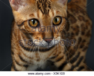 Closeup female Bengal Cat - Stock Photo