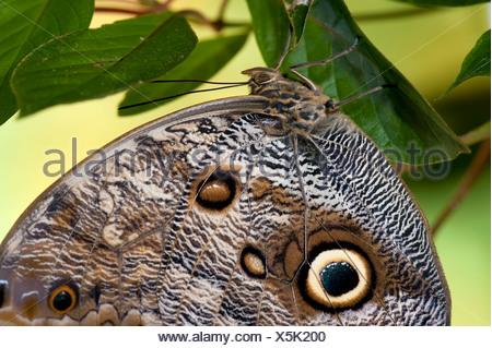 Owl Butterfly Caligo memnon resting on leaf Central & South America - Stock Photo