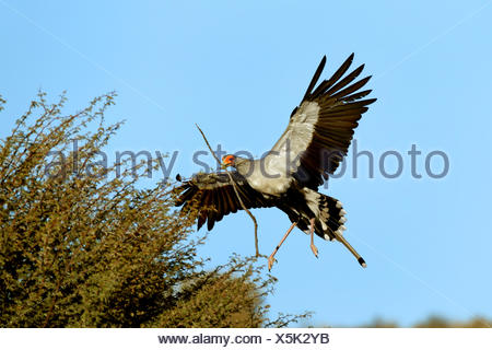 secretary bird, Sagittarius serpentarius (Sagittarius serpentarius), flying to the nest with nesting material in the bill, South Africa, Kgalagadi Transfrontier National Park - Stock Photo