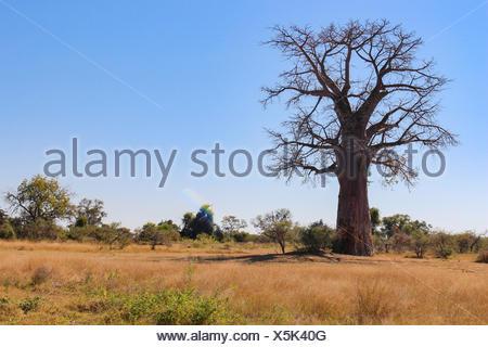 Botswana, Okavango Delta, mammoth tree is visited by tourists on a safari