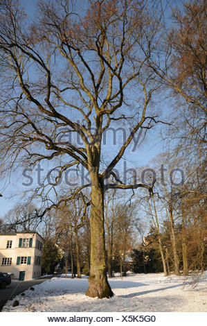 Large-leaved Lime - Stock Photo