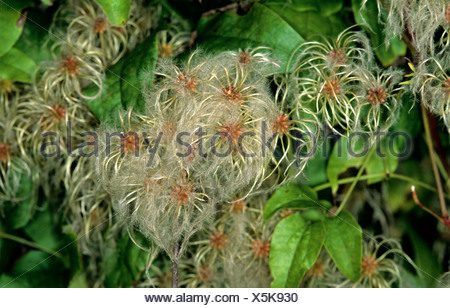 Traveller's joy, wild clematis, old mans beard (Clematis vitalba) seeding climber - Stock Photo
