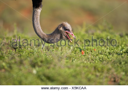 Close-up of an Ostrich, Addo Elephant National Park, Eastern Cape Province, South Africa - Stock Photo