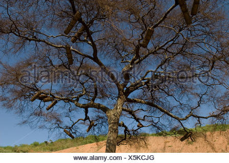 Bee Hives for honey bees in the branches of a tree, Omo Valley, Ethiopia, Apis, Insecta, Hymenoptera, Apidae, insects, arthropod, native, hive, beehiv - Stock Photo