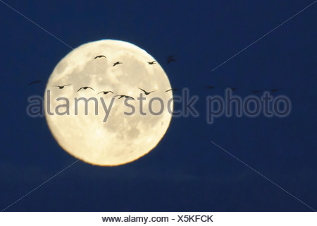 full moon with migratory birds, goldenstedter moor, lower saxony, germany - Stock Photo