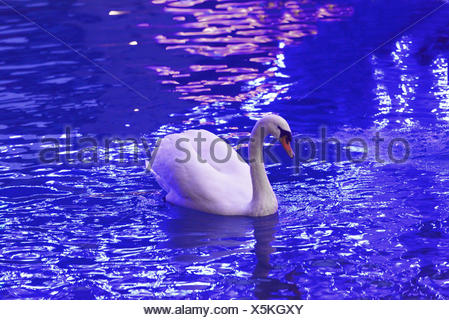 mute swan (Cygnus olor), in a canal near Annecy, France, Savoie - Stock Photo
