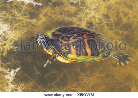 Florida Red-bellied Cooter (Pseudemys Chrysemys nelsoni) in the Florida Everglades - Stock Photo