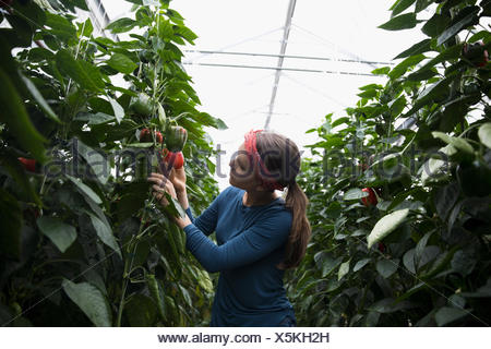 Female farmer harvesting bell peppers among plants in greenhouse - Stock Photo
