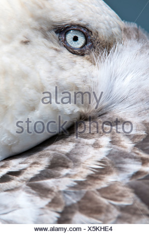 Southern Giant Petrel resting with bill tucked under its wing, Stromness, South Georgia, South Atlantic. - Stock Photo