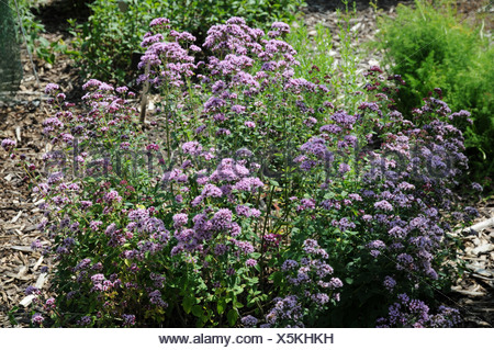 Pot Marjoram - Stock Photo