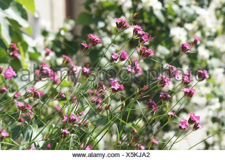 Dianthus carthusianorum, Carthusian pink - Stock Photo
