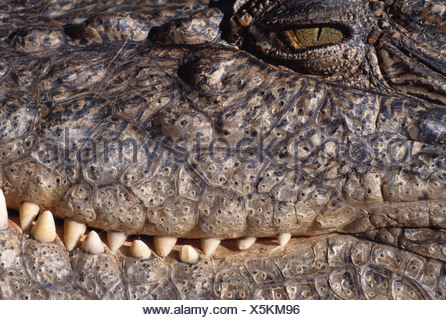 ESTUARINE CROCODILE - Stock Photo