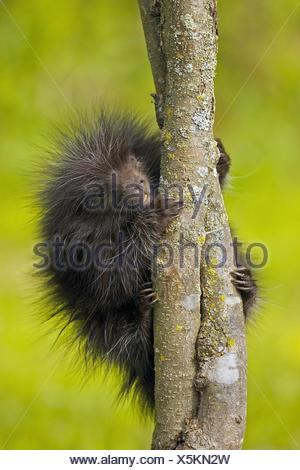 Common Porcupine (Erethizon dorsatum), juvenile - Stock Photo