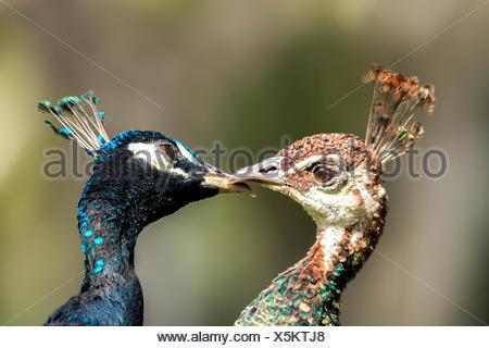 Two loveley blue peafowl (Pavo cristatus) - Stock Photo