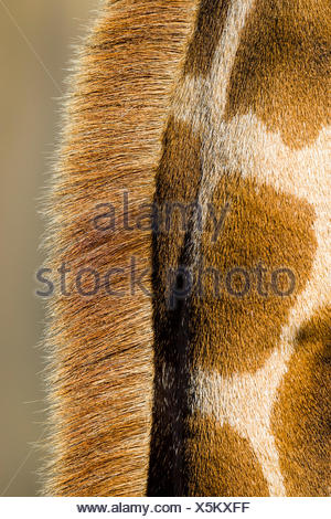 The reticulated mosaic fur pattern on the skin of a Giraffe neck and mane hair. - Stock Photo