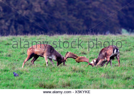 Fighting fallow deers during the rut - males (Cervus dama) (Dama dama) - Stock Photo