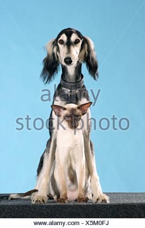 animalfriendship: Saluki dog and Siamese cat - cut out - Stock Photo