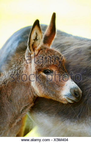 Domestic donkey (Equus asinus asinus), donkey foal standing by its mother, portrait, Germany - Stock Photo
